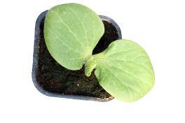 Pumpkin seedling