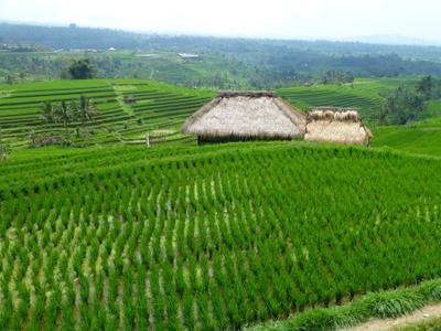 Balinese Rice Paddy at Jatiluweh