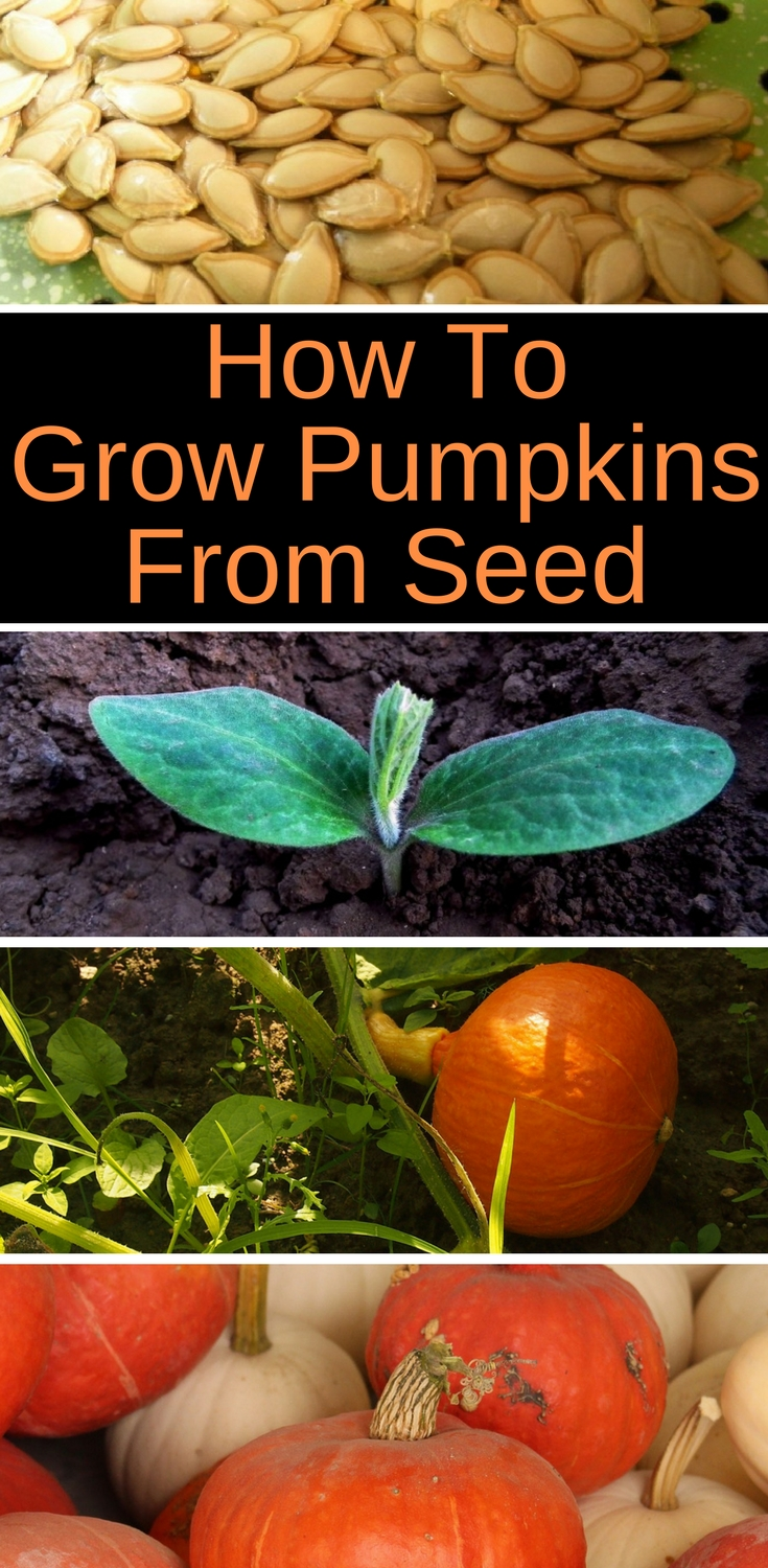 Wonder how to grow pumpkins from seeds? Here are some tips for planting pumpkin seeds for a nice harvest. You can grow pumpkins in small spaces if you grow them vertically. You can also grow them in containers.