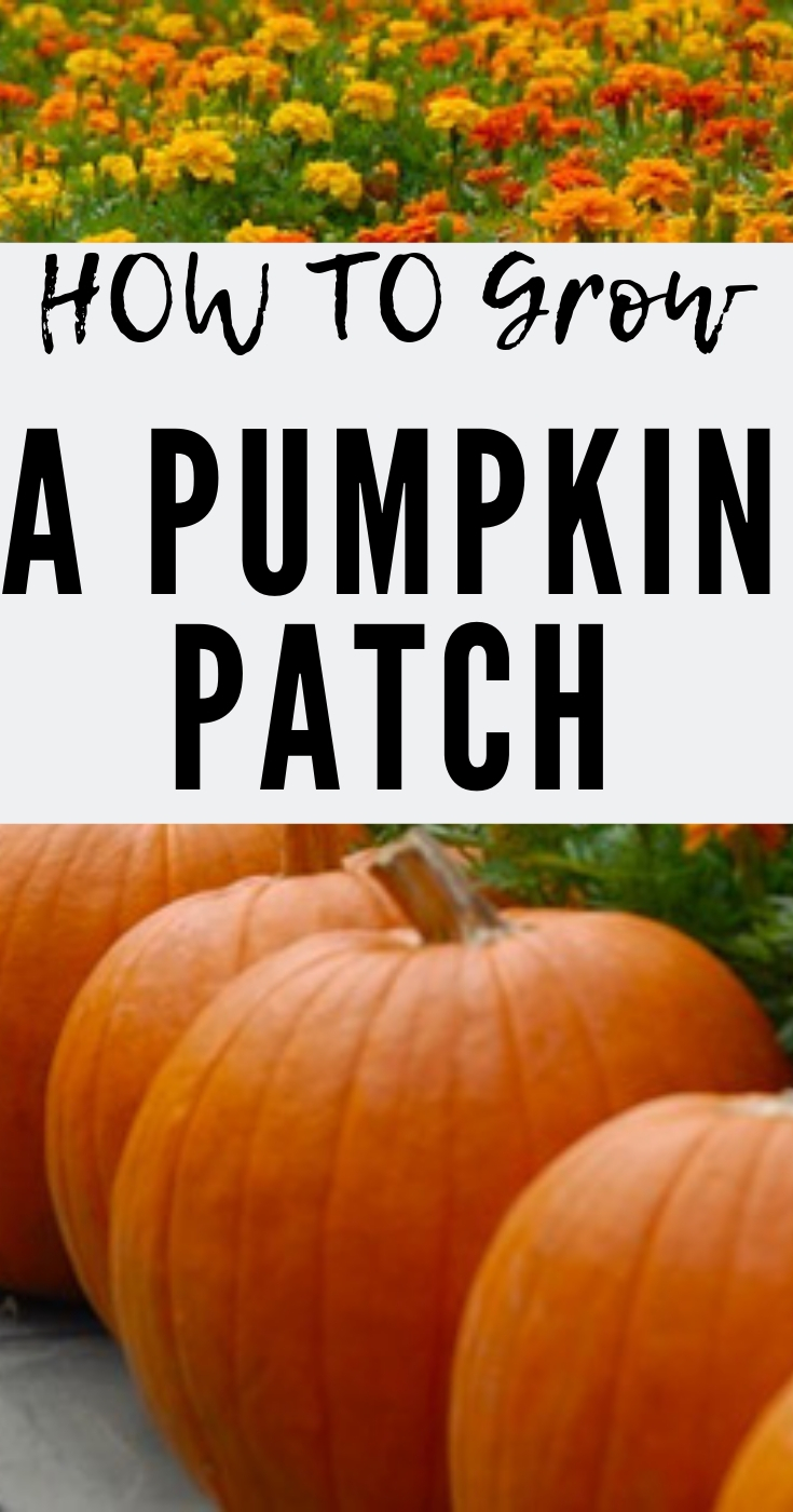 grow pumpkin patch