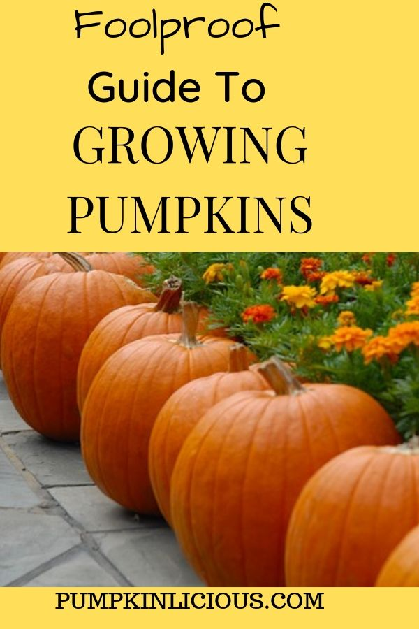 easy grow pumpkin tips