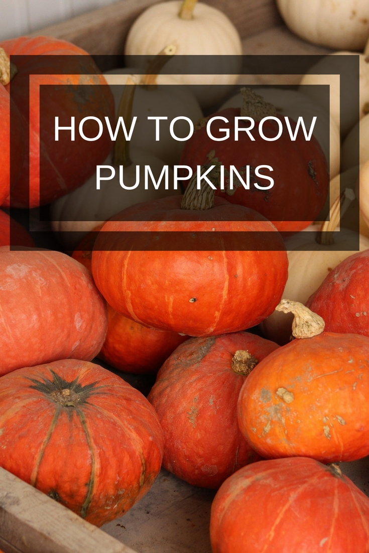 Tips for growing pumpkins