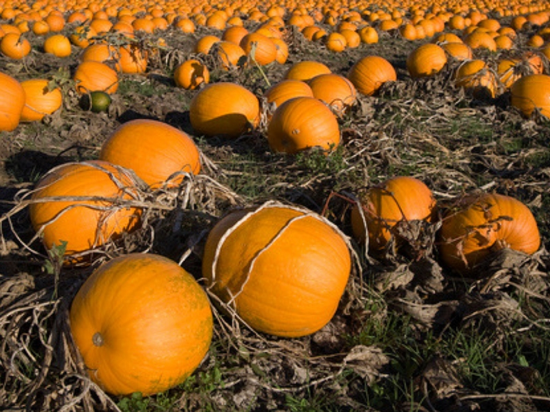 Pumpkins on the field, ready for harvesting
