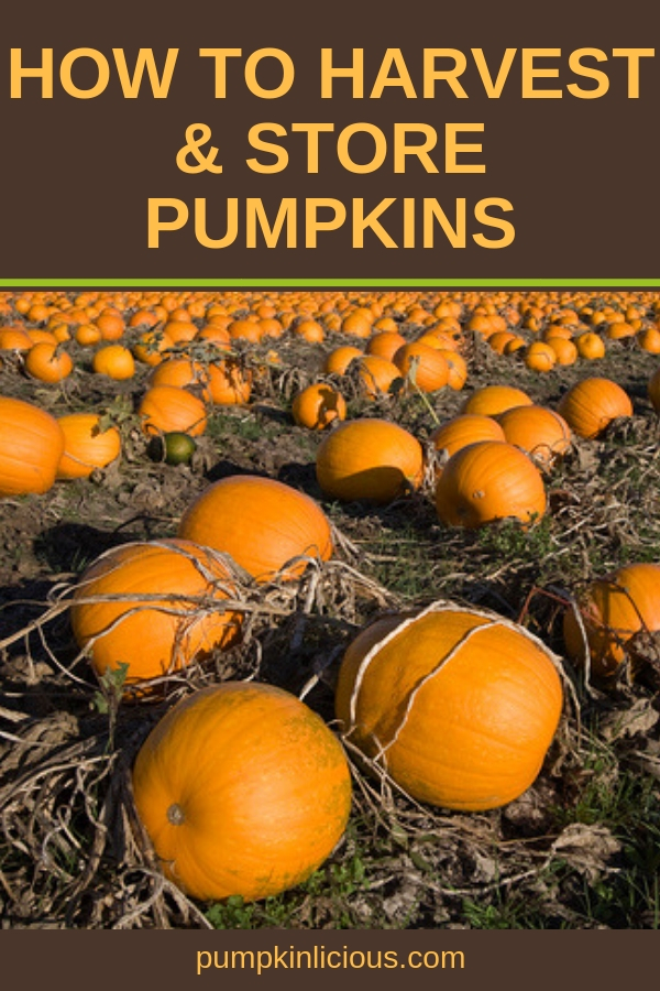 Are you new to growing pumpkins? If so, you'll want to learn how to harvest pumpkins and how to store them properly. Here's a quick guide to harvesting and storing pumpkins from your garden. #pumpkins #harvest #organicgardening #pumpkinsharvest #fall #autumn