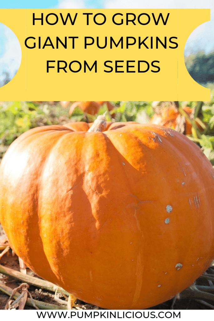 how to make giant pumpkins