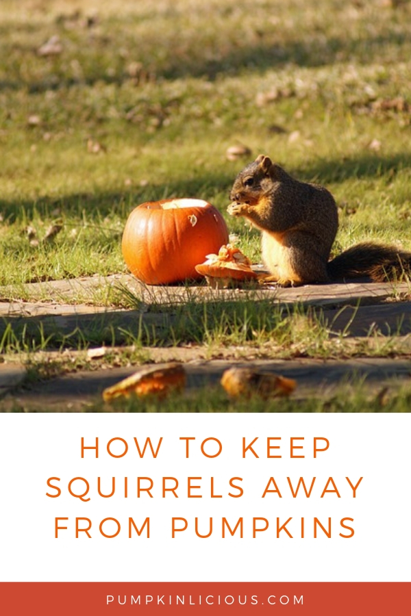 HOW TO STOP SQUIRRELS FROM EATING PUMPKINS