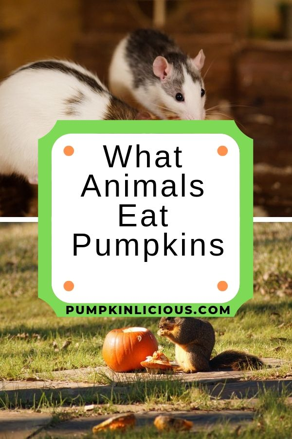 animals eating pumpkins