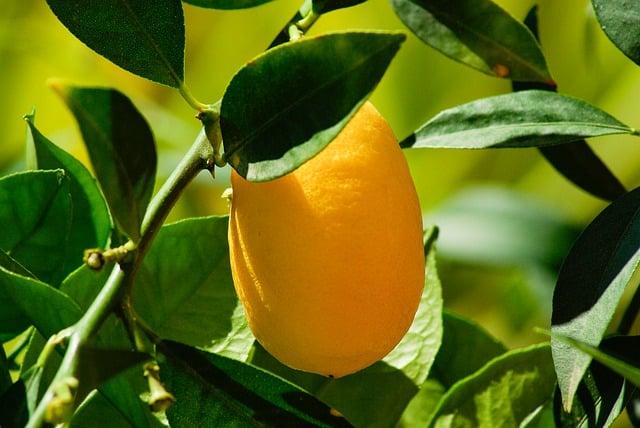 make pumpkin kumquat marmalade from this tree
