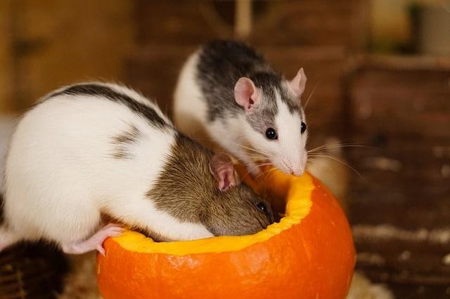 what animals eat pumpkins