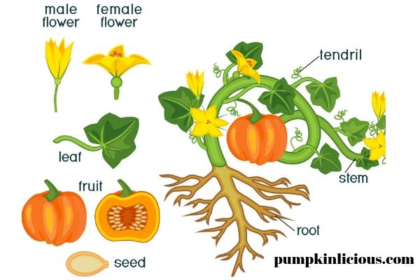 pumpkin anatomy