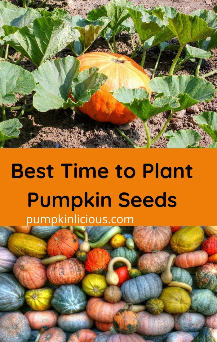 When is the Best time to Plant Pumpkin seeds