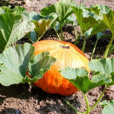 best time to plant pumpkin seeds