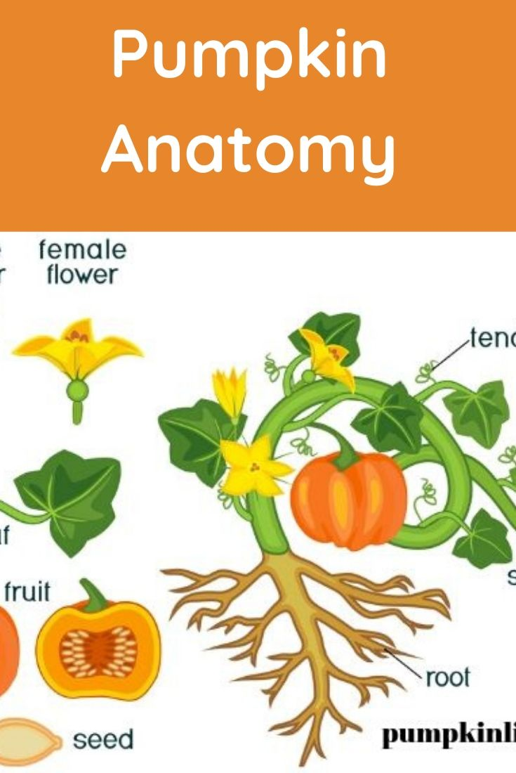 what are different part of pumpkin called