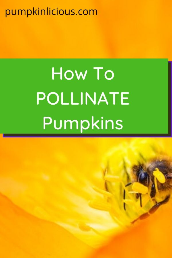 How to Pollinate Pumpkins
