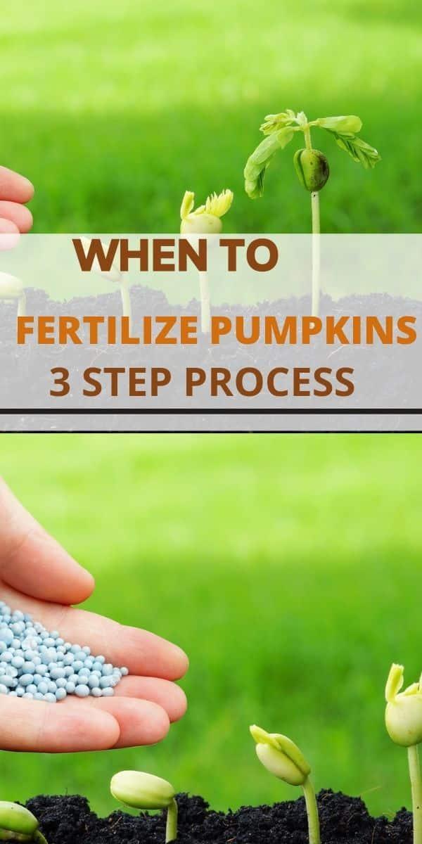 when to fertilize pumpkins