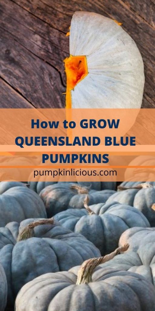 How to Grow Queensland Blue Pumpkins